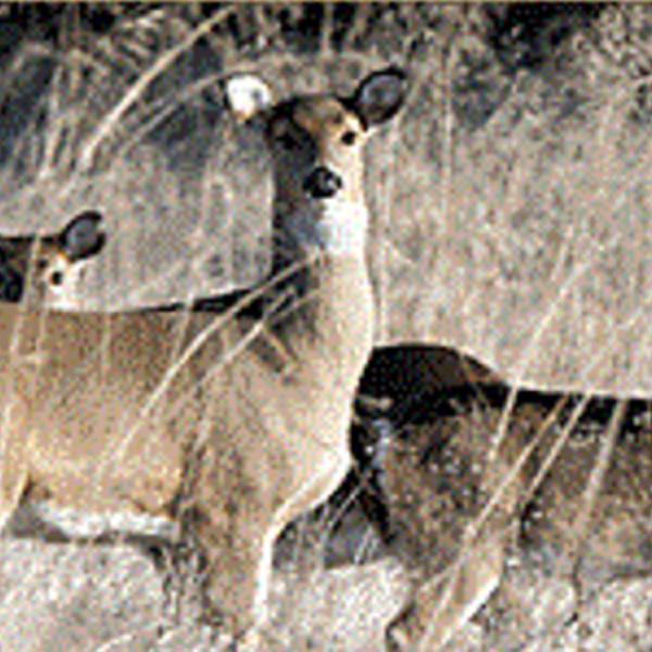 CWD deer_2.png