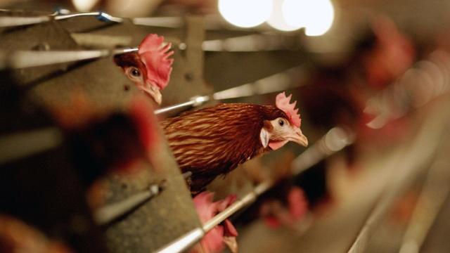 Chickens-generic-jpg_72485_ver1_20170216174421-159532