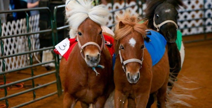 mini horse racing_1493999231436.PNG