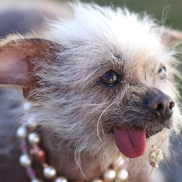 Josie, Chinese crested dog, 25th annual World's Ugliest Dog contest in 201398933029-159532