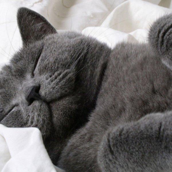 sleeping grey cat77750534-159532