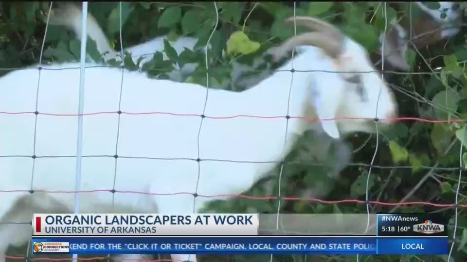 The_Greedy_Goats_to_be_in_Action_at_UofA_0_20180525121138