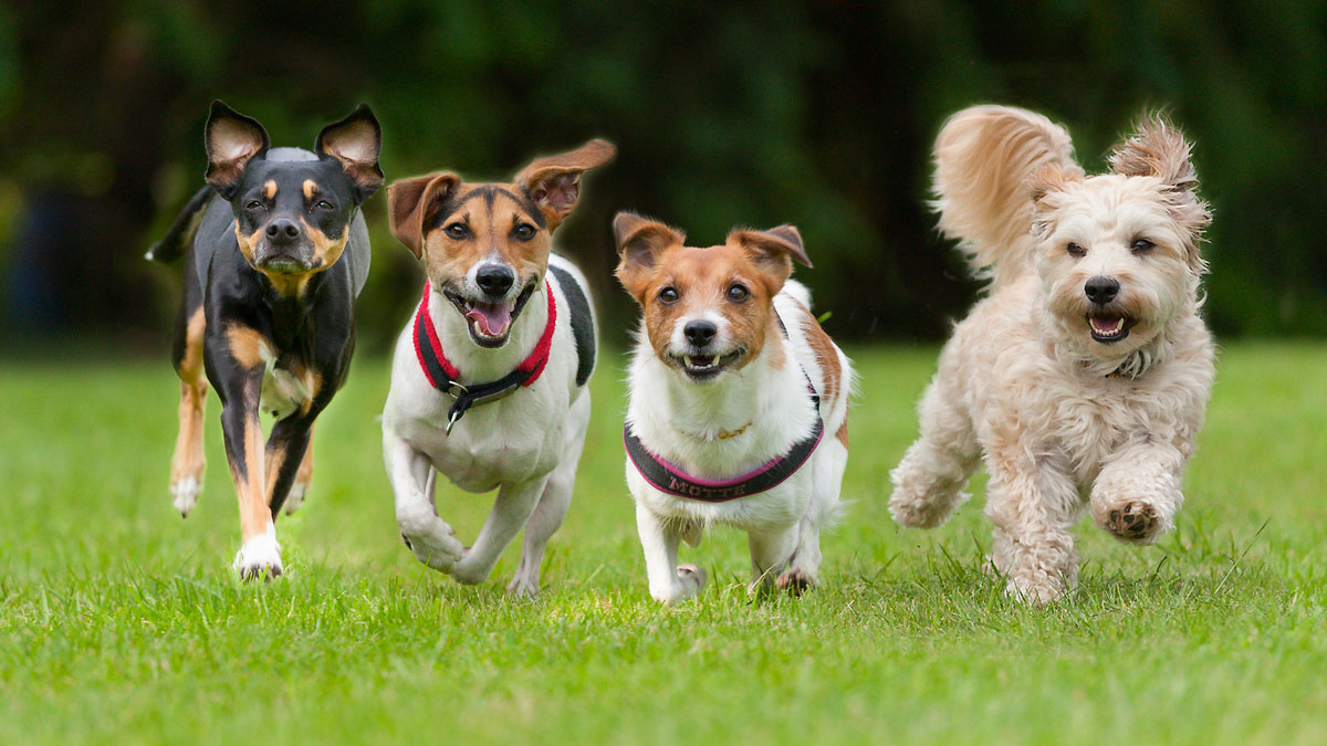 Dogs-GettyImages-180680638_20180608034353-159532