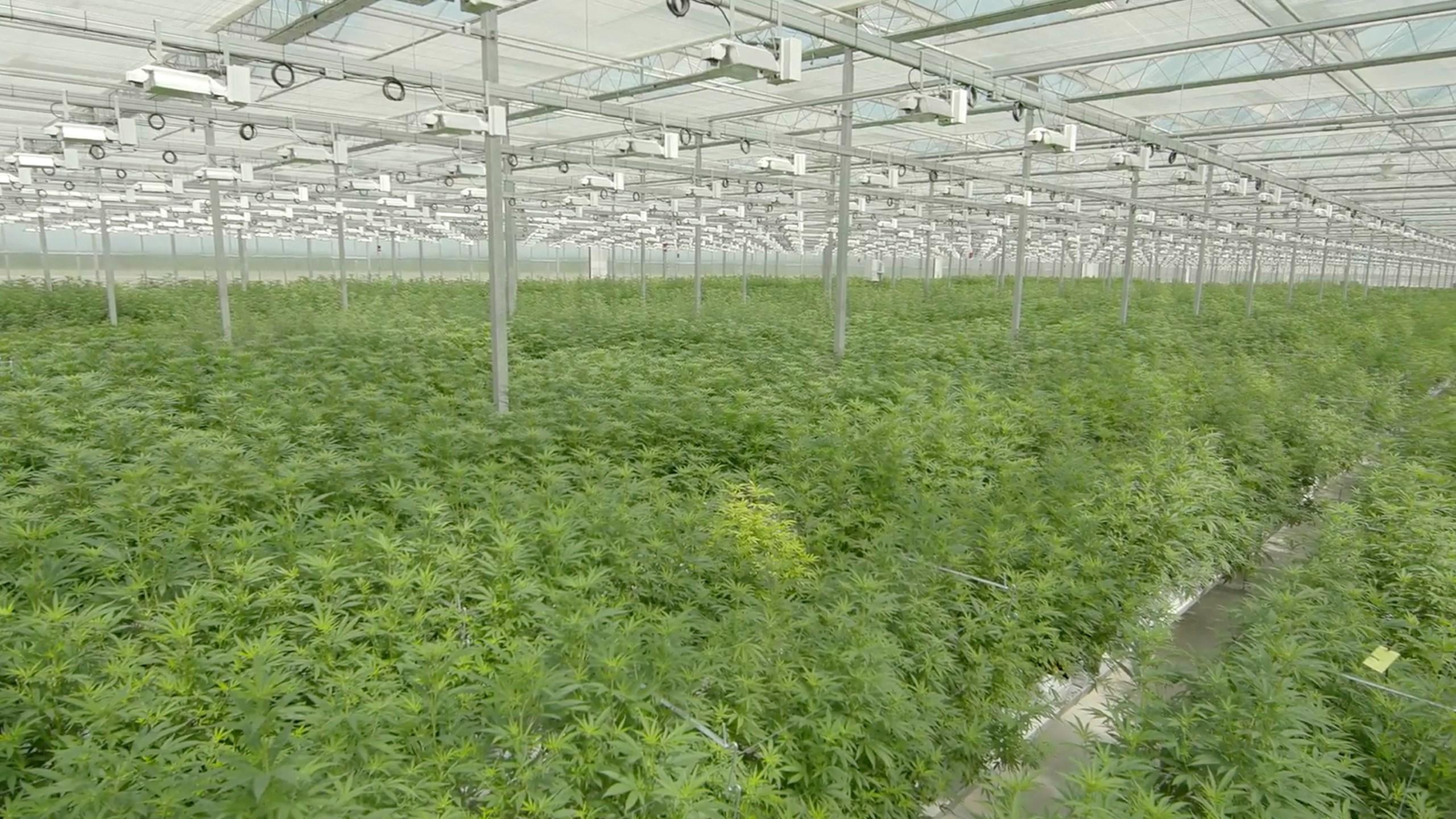 Marijuana_IPO_18086-159532.jpg49623937