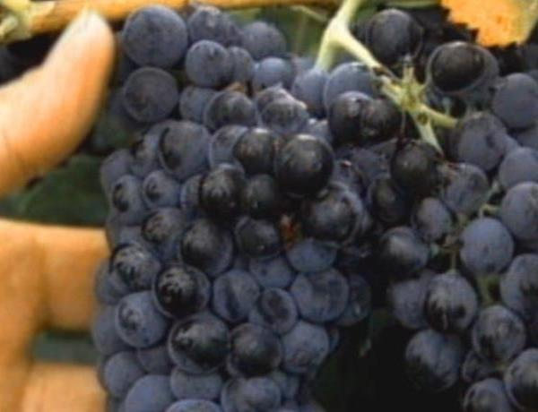 13th Annual Run For The Grapes_-3339037823145589201