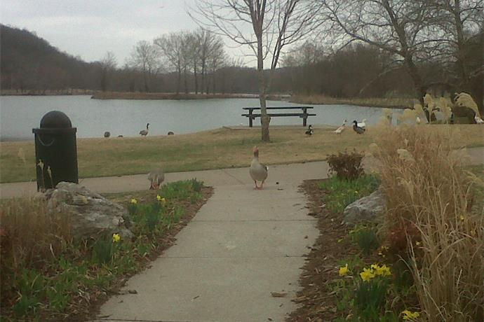Intervention Program Aims to Reduce Geese in Bella Vista_646297105174250542