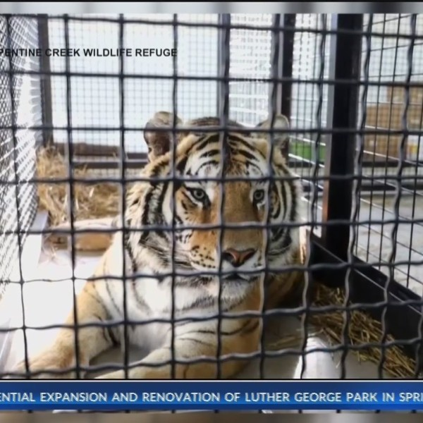 Tiger_Rescued_by_Turpentine_Creek_Wildli_0_20190122134611