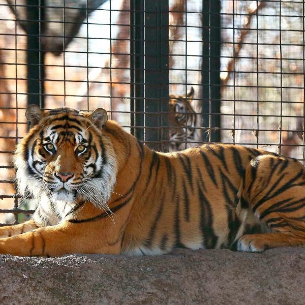 Kansas Zoo Tiger Attack_1555789208345