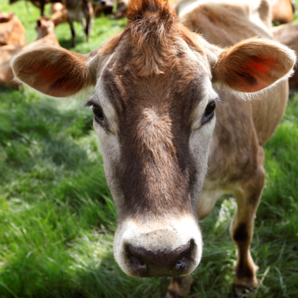 cow_1556474853419.PNG