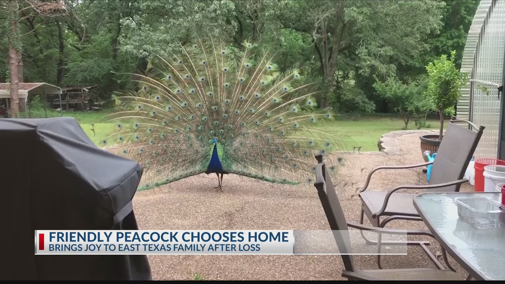 Friendly_Peacock_chooses_East_Texas_fami_0_20190514231918-3156084