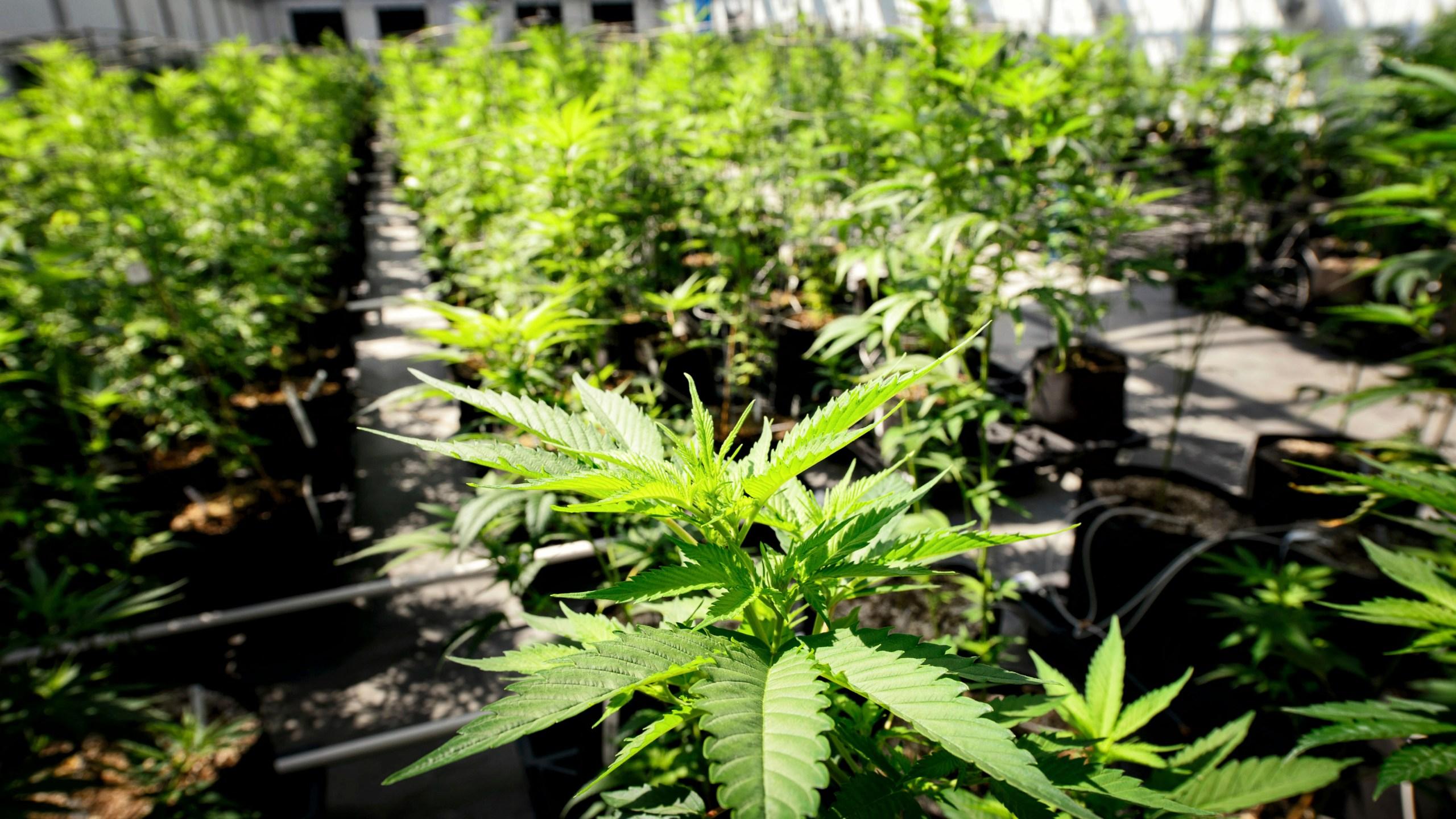 Marijuana_Social_Justice_71647-159532.jpg29691349