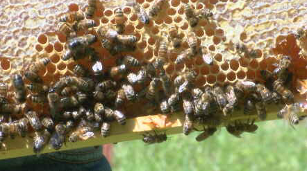 bees_1557880502031.PNG