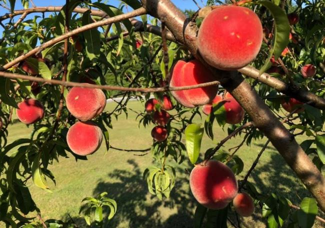 In a Day's Drive: Berry Picking in NWA