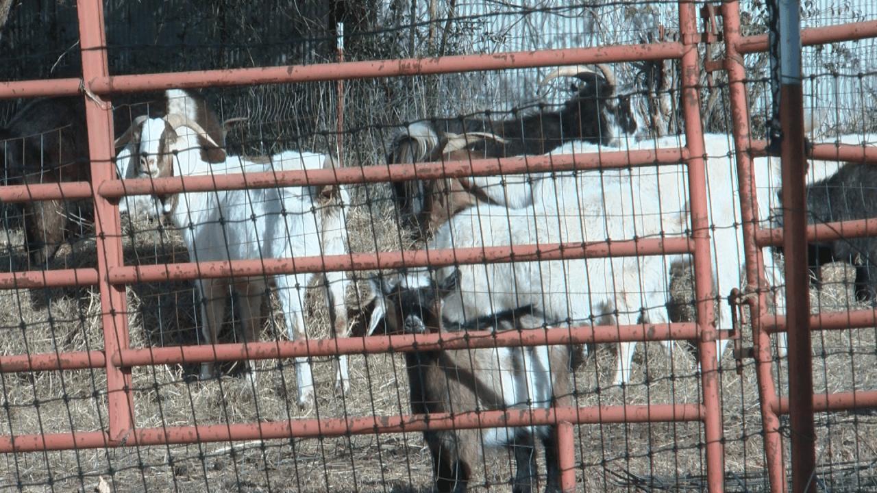 Local goat-rental service hosts animal playdate